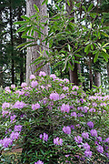 Hybrid rhododendron flowers (in the heath family, Ericaceae) bloom in shades of purple color in beautiful Meerkerk Gardens, on Whidbey Island, in the state of Washington, USA. To see the park's blossoms at their spectacular peak, visit around late April or early May. Getting there: 2 miles south of Greenbank, turn east at the corner of Highway 525 and Resort Road, and go to 3531 Meerkerk Lane. (Photo was taken May 22, 2015.)