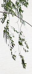 Eucalyptus camaldulensis #17