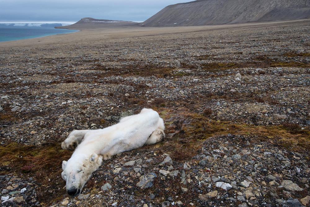 Dead polar bear, Ursus maritimus, starved to death, Zeipelodden, Svalbard, Norway, Arctic