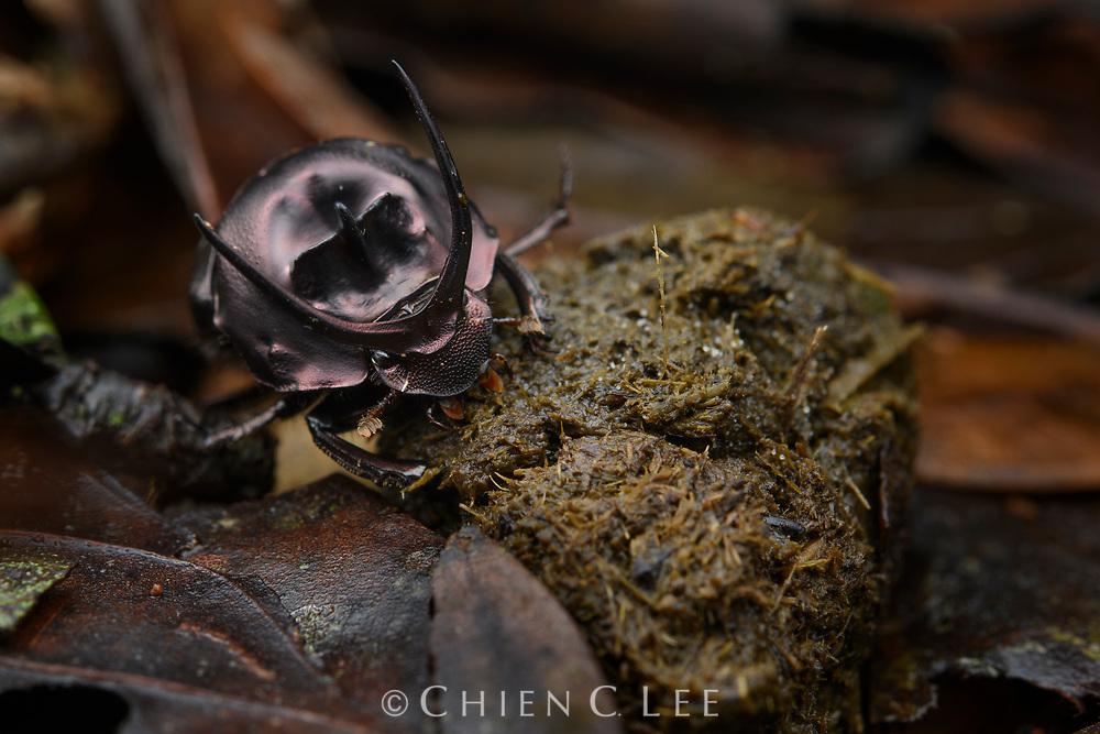 Dung beetle (Proagoderus watanabei), male feeding on herbivore scat. Danum Valley Conservation Area, Sabah, Malaysia (Borneo).