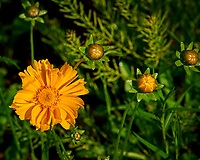 Lance-leaf Coreopsis. Image taken with a Nikon D810a camera and 105 mm f/1.4 lens