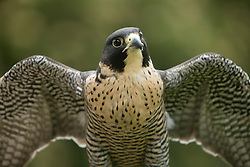 United States, Washington, Seattle, Woodland Park Zoo, Peregrine Falcon (Falco peregrinus)