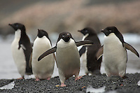 Adelie Penguins (Pygoscelis adeliae) on Devil Island.