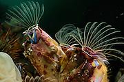 Giant barnacle (Austromegabalanus psittacus) Comau Fjord, Patagonia, Chile |