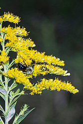 A bumble bee and a spotted cucumber beetle (Diabrotica undecimpunctata) look for treasures on the bloom of a goldenrod plant