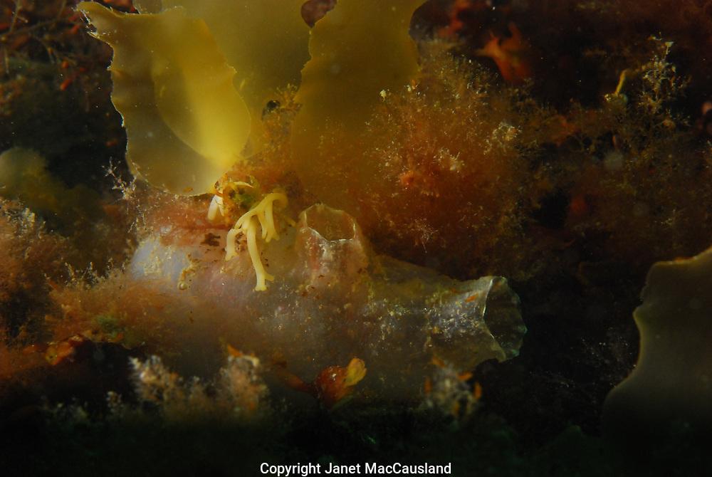 A Sea Vase (Ciona intestinalis) feeds tucked under seaweeds.