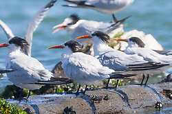 Royal Terns (Thalasseus maximus), Sausalito, California, US