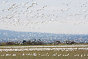 Snow geese (Chen caerulescens) come in for landing on a farmer's field in Skagit Valley, Washington, where thousands winter each year before traveling to the Arctic to nest.