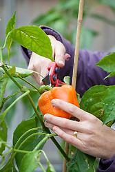 Picking a pepper. Capsicum annuum
