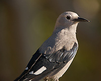 Clark's Nutcracker (Nucifraga columbiana). Rocky Mountain National Park. Image taken with a Nikon D2xs camera and 400 mm f/2.8 lens.