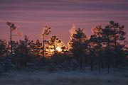 A group of frost covered scots pines (Pinus sylvestris) in raised bog against sunrise, Ķemeri National Park, Latvia Ⓒ Davis Ulands   davisulands.com
