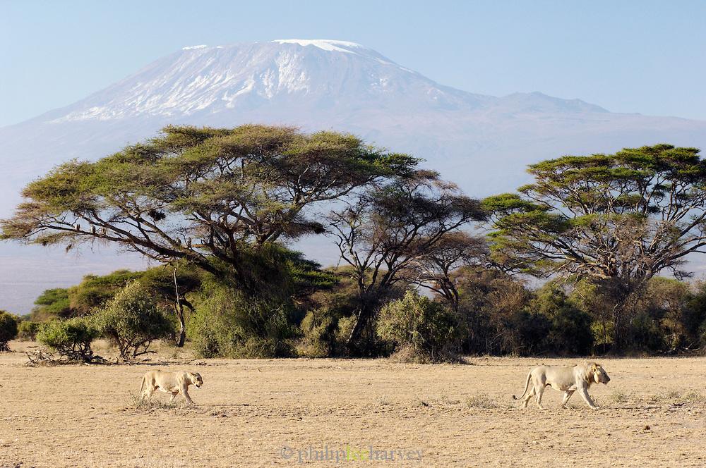 Lions walking by Acacia trees and Mount Kilimanjaro, Amboseli National Park, Kenya