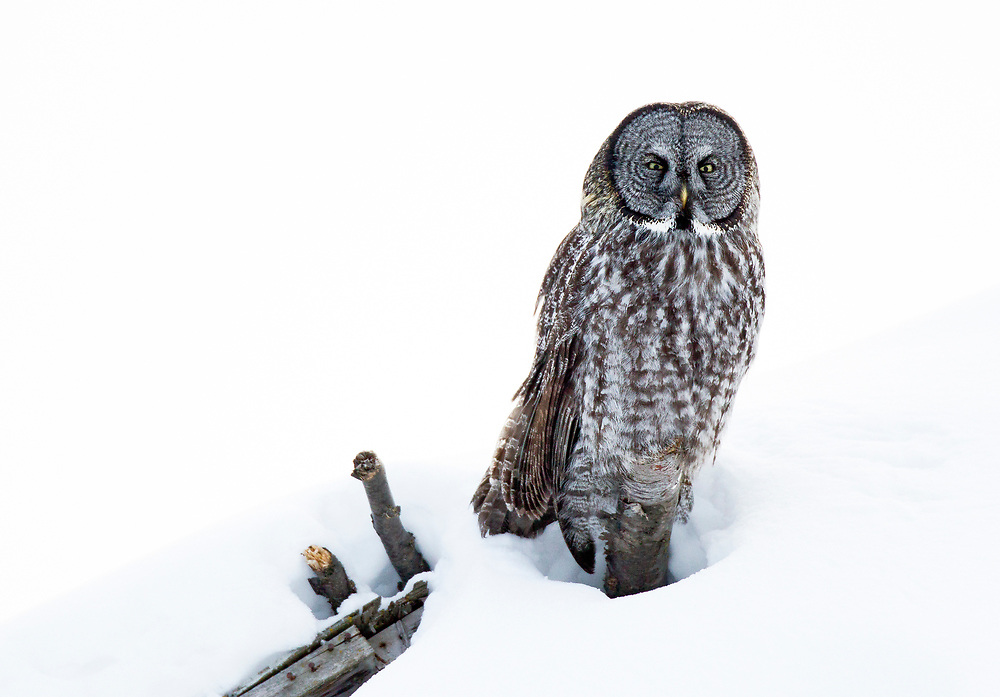 Alaska.  An adult Great Gray Owl (Strix nebulosa) perched on a dead stump above the surface of a large mound of snow while it scans for prey near the Anchorage International Airport in March.