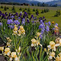 Irises grown by acclaimed Montana gardener Donald Heyden bloom in Montana's Gallatin Valley near Bozeman.