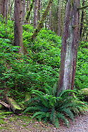 Ferns (Polystichum munitum) and other understory plants (mostly Salmonberry - Rubus spectabilis) in the rainforest at the Capilano Canyon.  Photographed from along the Second Canyon Trail in Capilano River Regional park, North Vancouver, British Columbia, Canada.
