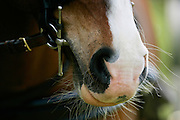 Horse muzzle and bit close up, England