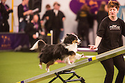 New York, NY - 8 February 2014. A Shetland sheepdog is directed up the seesaw by its handler.