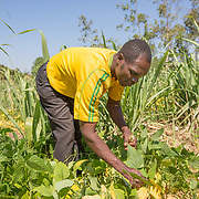 CAPTION: Fidelis picking beans. He and his family grow beans, maize, groundnuts, soya, millet, pigeon peas, tomatoes, onions, cassava and sweet potatoes. Right now, beans, cassava, tomatoes and sweet potatoes are being harvested. LOCATION: Nsanja-Seze, Vila Ulongwe area, Angonia District, Tete Province, Mozambique. INDIVIDUAL(S) PHOTOGRAPHED: Fidelis Dickson.