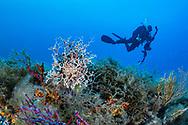 Gorgonocephalidae-Gorgonocéphale (Astrospartus mediterraneus) of mediterranean sea.