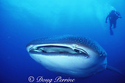 whale shark, Rhincodon typus, endangered species, and diver, Darwin Island, Northern Galapagos, Ecuador ( Eastern Pacific Ocean )