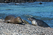 Hawaiian monk seal, Neomonachus schauinslandi, formerly Neomonachus schauinslandi ( Critically Endangered, endemic species ), 8-9 year old female, RI25, with 6 week old pup, RN02 or Kamilo, Kaiole Bay, near Kamilo Point, Ka'u, Hawaii ( the Big Island )