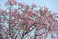 Magnolia campbellii at Caerhays Castle, St Austell, Cornwall