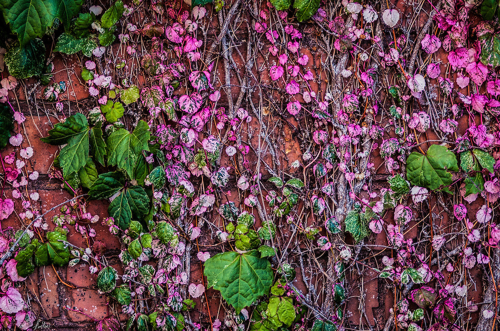 A brick wall in the city covered with ivy and leaves.