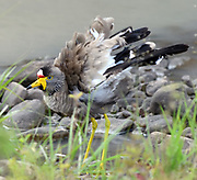 An African wattled lapwing, Senegal wattled plover or wattled lapwing (Vanellus senegallus) baths in a temporary pool. Serengeti National Park, Tanzania.
