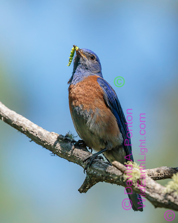 Western bluebird adult male perched on  branch with caterpillar being carried to nestlings, Jemez Mountains, New Mexico, © David A. Ponton