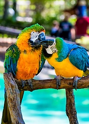 The Blue-and-yellow Macaw, also known as the Blue-and-gold Macaw, is a large South American parrot with blue top parts and yellow under parts.