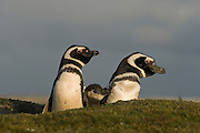 Magellanic Penguins (Spheniscus magellanicus) braying.<br /> Volunteer Point, Johnson's Harbour, East Falkland Island. FALKLAND ISLANDS.<br /> RANGE: Juan Fernandez Island in Pacific, Islands along coast of Southern Chile to islands off Cape Horn, South Atlantic coast of Argentina up to Valdez Peninsula and Falkland Islands.<br /> These penguins are migrants and breed in the Falklands. They are fairly widely distributed in the Falklands. They nest in burrows beneath tussock pedestals. Breeding begins mid October. Incubation is 38-41 days and young are fully moulted by late January. Adults will vacate the site after their moult in March. They feed extensively on schooling fish and squid.