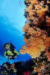 Scleronephthya sp., Korallenriff mit Weichkoralle und Taucher, Coralreef with soft coral and scuba diver, Abu Fandera, Rotes Meer, Süd Ägypten, Red Sea, South Egypt