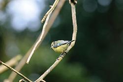 Pimpelmees, Cyanistes caeruleus