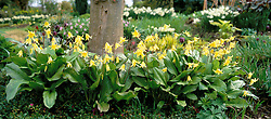 Erythronium 'Pagoda' growing in a shady spot under a tree at Glen Chantry