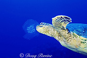 green sea turtle, Chelonia mydas, feeds on moon jelly, Aurelia aurita, Kona, Hawaii ( the Big Island ), USA ( Central Pacific Ocean )