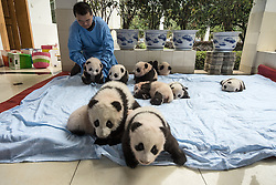 Fourteen baby captive bred pandas sleep  on a blanket at the panda breeding center of Bifengxia Panda Base in Ya'an, Sichuan,<br /> China. Thanks to hunting and the destruction of their natural habitat, there are now only an estimated 1,600 giant pandas left in the wild.