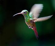 Rufous-tailed Hummingbird, Amazilia tzacatl, from Mindo, Ecuador.