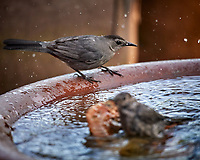 Gray Catbird about to take a bath. Image taken with a Nikon D5 camera and 600 mm f/4 VR lens