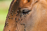 Flies on a horse's face, Oxfordshire, England, United Kingdom