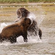 Alaskan Brown Bear, (Ursus middendorffi) Confrontation over caught salmon. Katmai National Park. Alaska