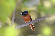 Red-bellied Paradise-flycatcher - Terpsiphone rufiventer