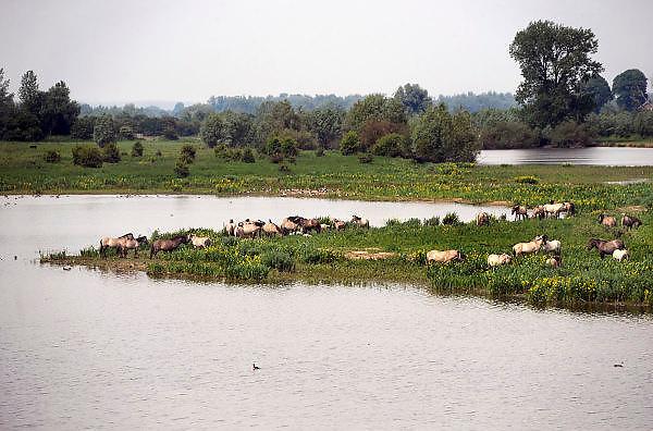 Nederland, Ubbergen, 1-6-2010Konikpaarden met veulens staan in de uiterwaarden van de Waal. De Konik leeft in kuddeverband. De wilde paarden zijn uitgezet in natuurgebieden door heel Nederland en doen het goed.Foto: Flip Franssen/Hollandse Hoogte
