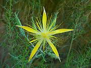 Giant Blazing Star, Blazing Star, Mentzelia laevicaulis, Leslie Gulch Area of Critical Environmental Concern, Oregon.
