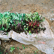 Vegetable seedlings for sale on the ground at Bogdan Voda market, Maramures, Romania. 90% of vegetable production is grown in small household plots and mainly used for self-consumption and for sale on local markets.