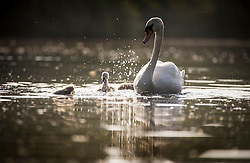 © Licensed to London News Pictures. 06/06/2016. Leeds UK. Cygnet's splash around in the water enjoying the warm weather this morning at Golden Acre park in Leeds on another beautiful day in Yorkshire. Photo credit: Andrew McCaren/LNP