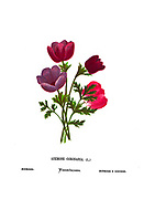 Crown anemones (Anemone coronaria) Also Poppy anemones or Kalanit. This wildflower can appear in several colours. Mainly red, purple, blue and white From the book Wild flowers of the Holy Land: Fifty-Four Plates Printed In Colours, Drawn And Painted After Nature. by Mrs. Hannah Zeller, (Gobat); Tristram, H. B. (Henry Baker), and Edward Atkinson, Published in London by James Nisbet & Co 1876 on white background