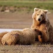 Alaskan Brown Bear (Ursus middendorffi) Mother nursing young cubs. Katmai National Park. Alaska. Spring...Alaskan Brown Bear (Ursus middendorffi) Mother nursing young cubs. Katmai National Park. Alaska. Spring.