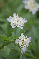 Scabiosa stellata 'Ping Pong'. Scabious