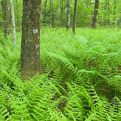 Ferns and a trail in Grafton, Massachusetts. .Hassanamesitt Woods.  Worceseter County.