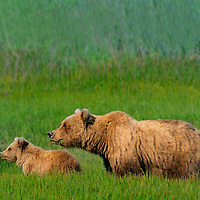 Grizzly bear sow with her cub-of-the-year in tall grasses of Lake Clark National Park in Alaska.